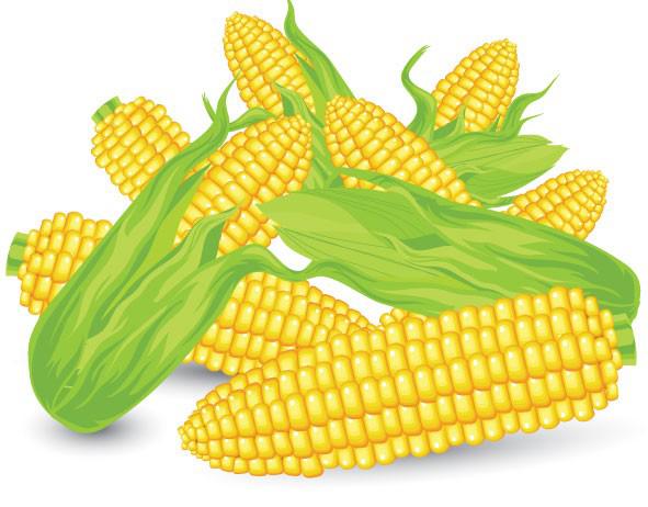 逼真的玉米素材矢量图