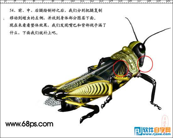 蝗虫头部结构图