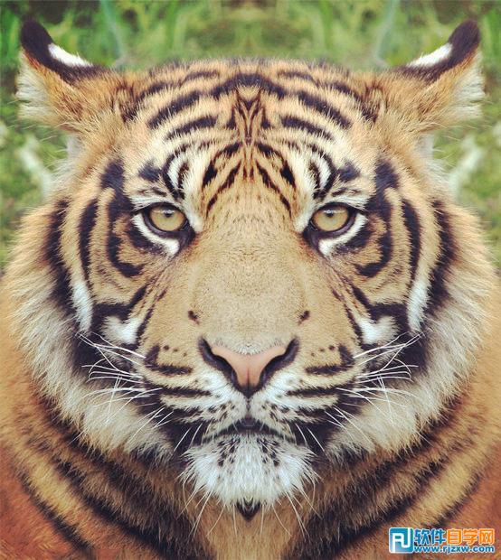 壁纸 动物 虎 老虎 桌面 554_620