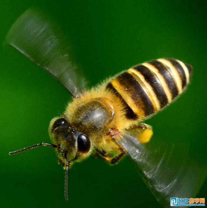 2、首先我们要抠出蜜蜂的身体部分,并细化处理,此教程由软件自学网首发,得到适合制作文字的素材,下面的步骤可能会很繁琐,如果嫌麻烦可以到视频教程下面下载现成的纹理素材。 用钢笔工具把身体部分抠出来,转为选区后复制到新的图层,按Ctrl + T 把角度调正,然后在背景图层上面新建一个图层,用油漆桶工具填充白色。